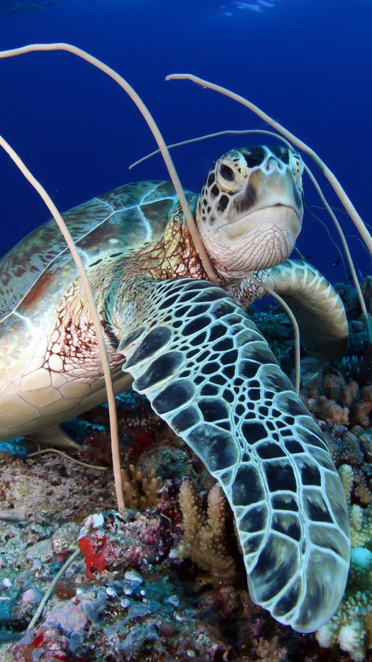 Iphone Wallpaper Turtle Coral Sea Turtle Wallpaper For Iphone 6 750x1334 Wallpaper Teahub Io
