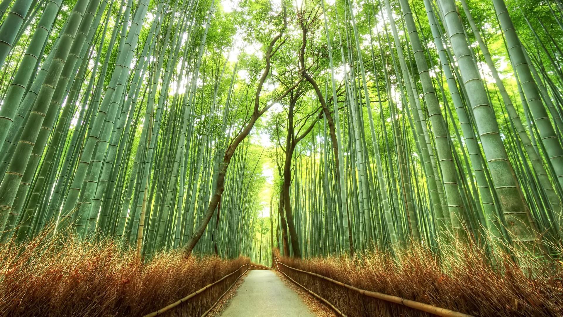 Bamboo Forest Japan Computer Wallpaper   Data-src - Japan Bamboo Forest - HD Wallpaper