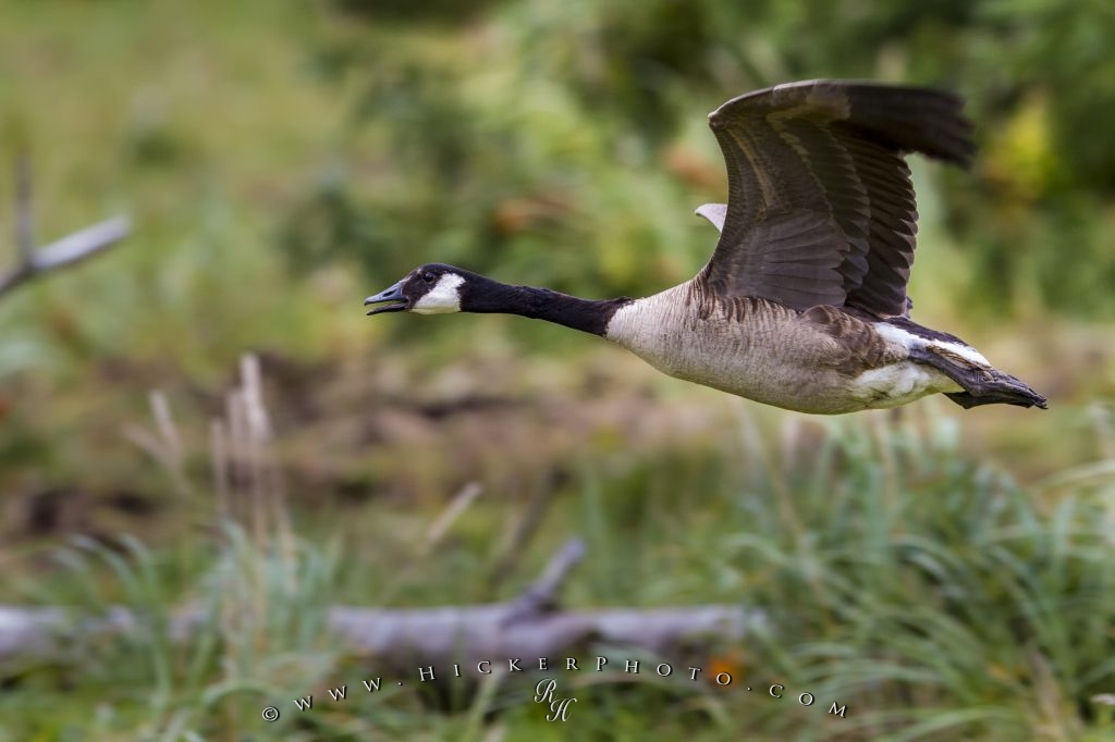 Photo Canada Goose Flying - Canada Goose - HD Wallpaper
