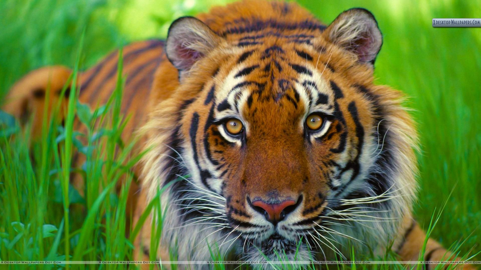 Bengal Tiger Up Close 1920x1080 Wallpaper Teahub Io