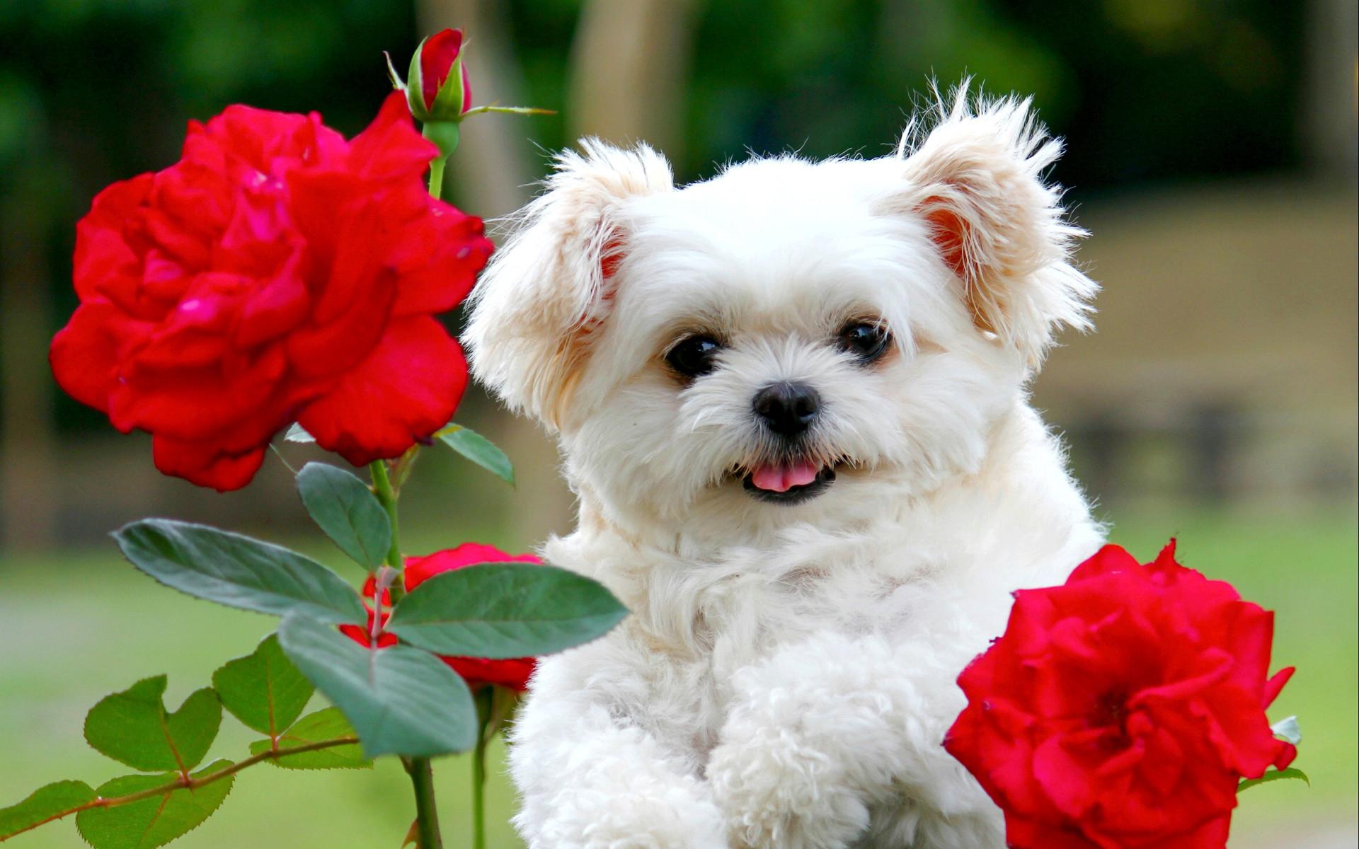 Yorkie Garden Statue Cute Puppy Backgrounds 1280x800 Wallpaper Teahub Io
