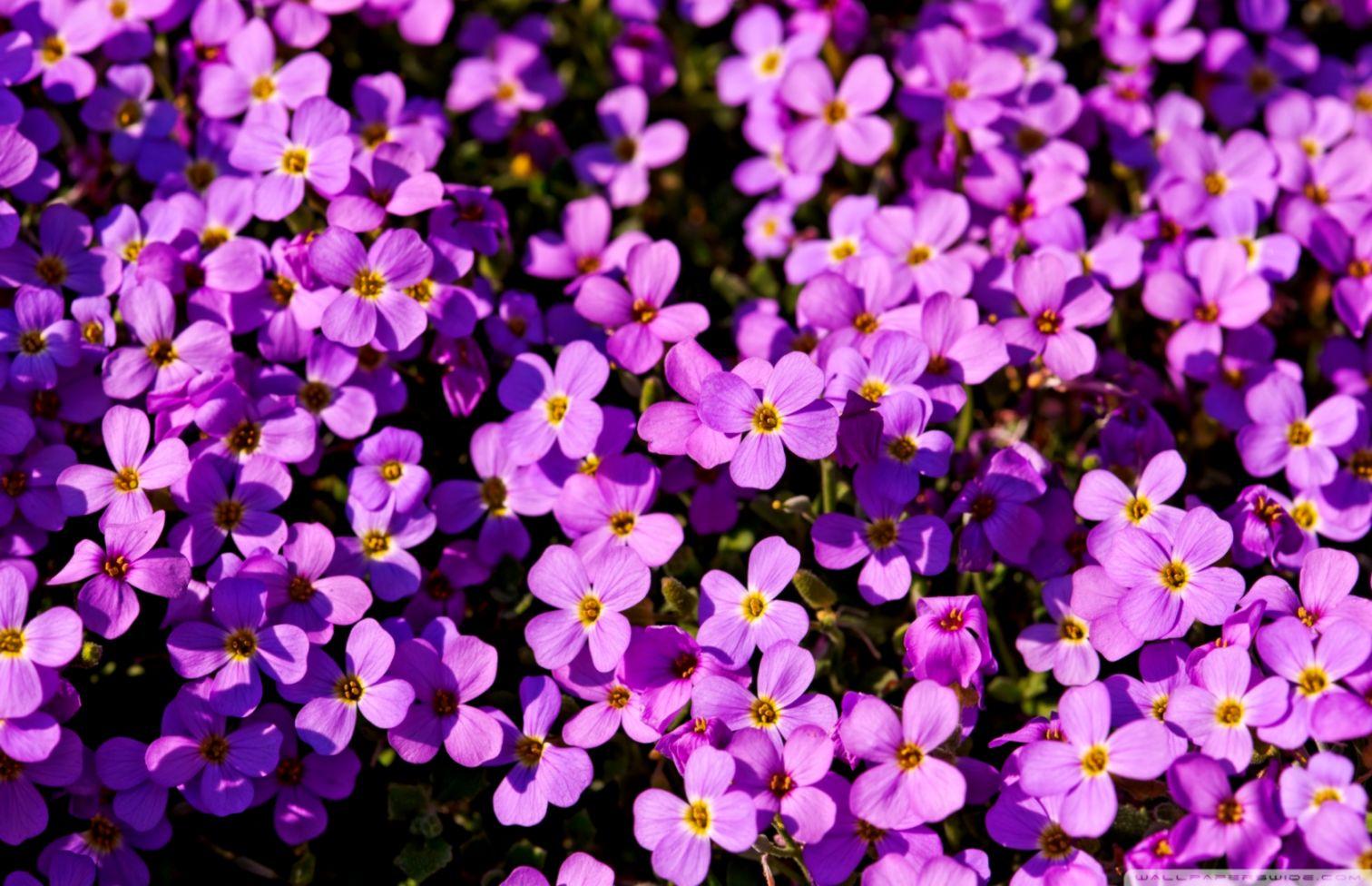 A Lot Of Purple Flowers 4k Hd Desktop Wallpaper For Purple Flowers Wallpapers For Desktop 1512x976 Wallpaper Teahub Io