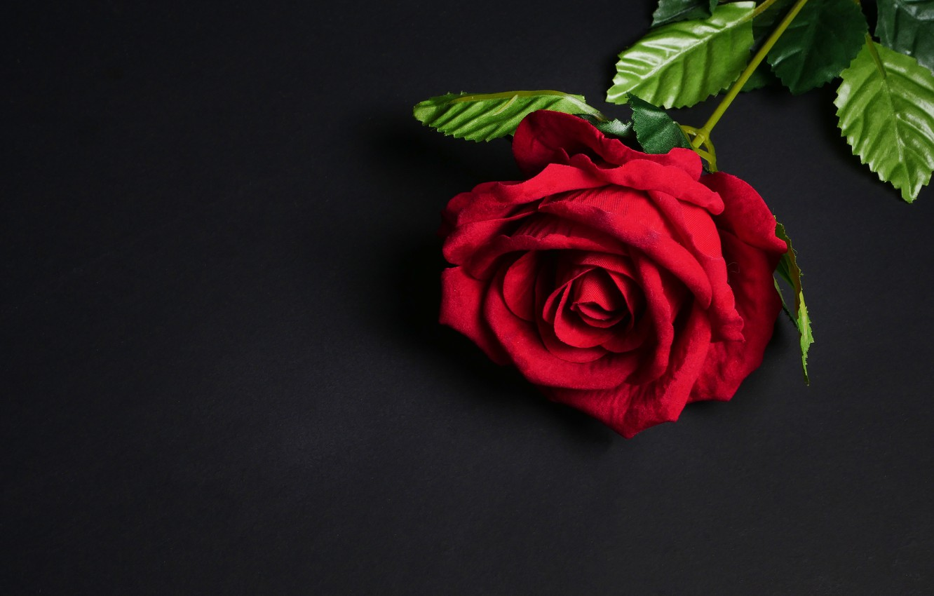 Photo Wallpaper Flowers Rose Red Black Background Red Flower Background Black 1332x850 Wallpaper Teahub Io