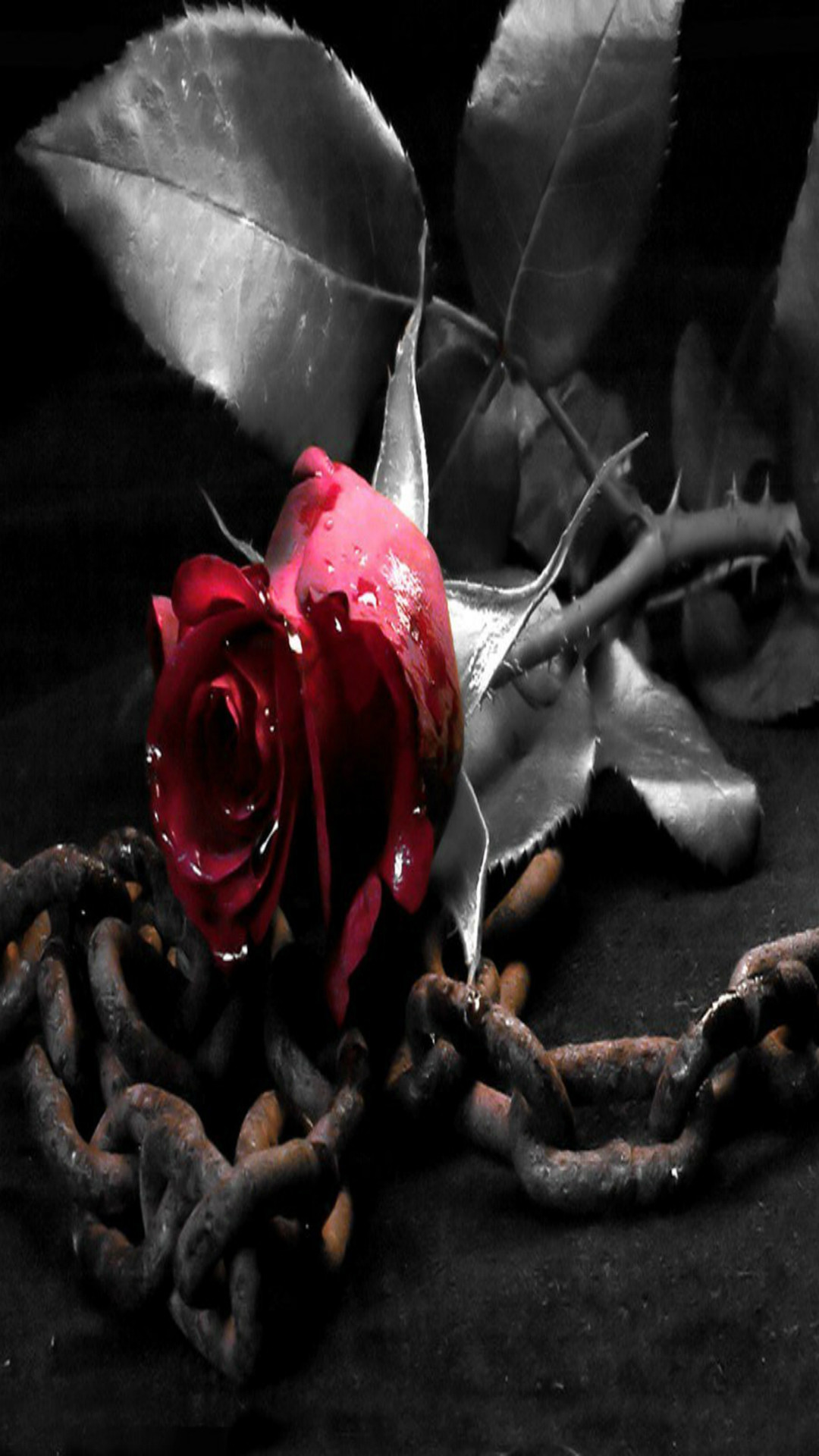 Black And White Rose Iphone Wallpaper   Src Black Roses - Dark Red Rose Wallpaper Iphone - HD Wallpaper