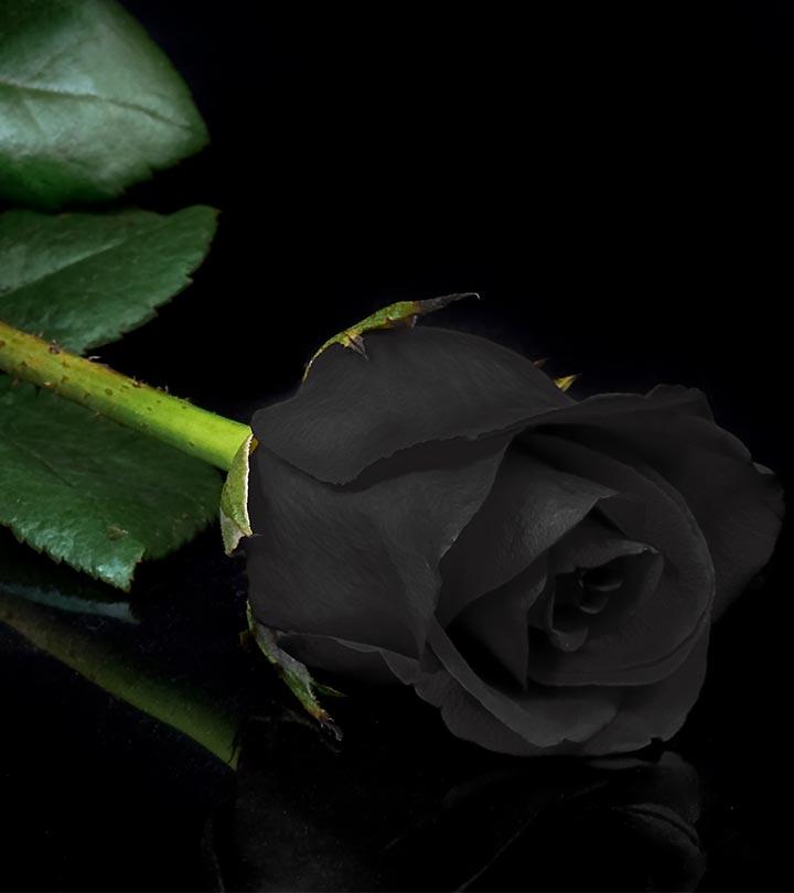 Black Rose Image Black Rose Images Hd 720x810 Wallpaper Teahub Io