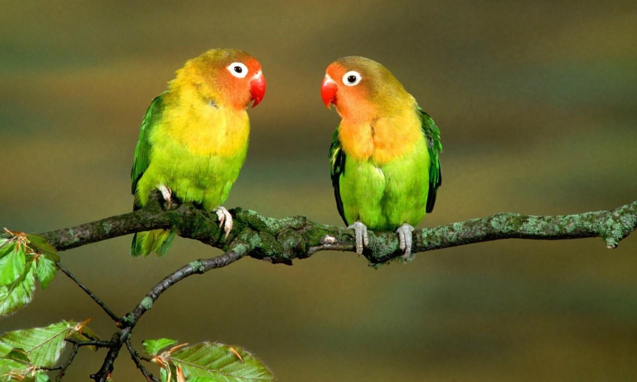 Love Birds Full Hd 1280x768 Wallpaper Teahub Io