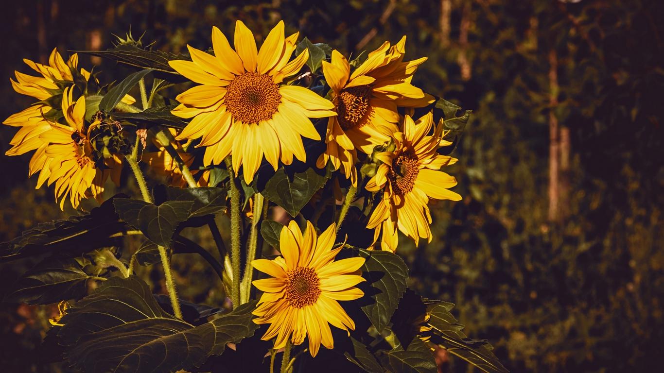 Wallpaper Sunflower Flowers Summer Yellow Yellow Wallpaper Laptop Hd 1366x768 Wallpaper Teahub Io