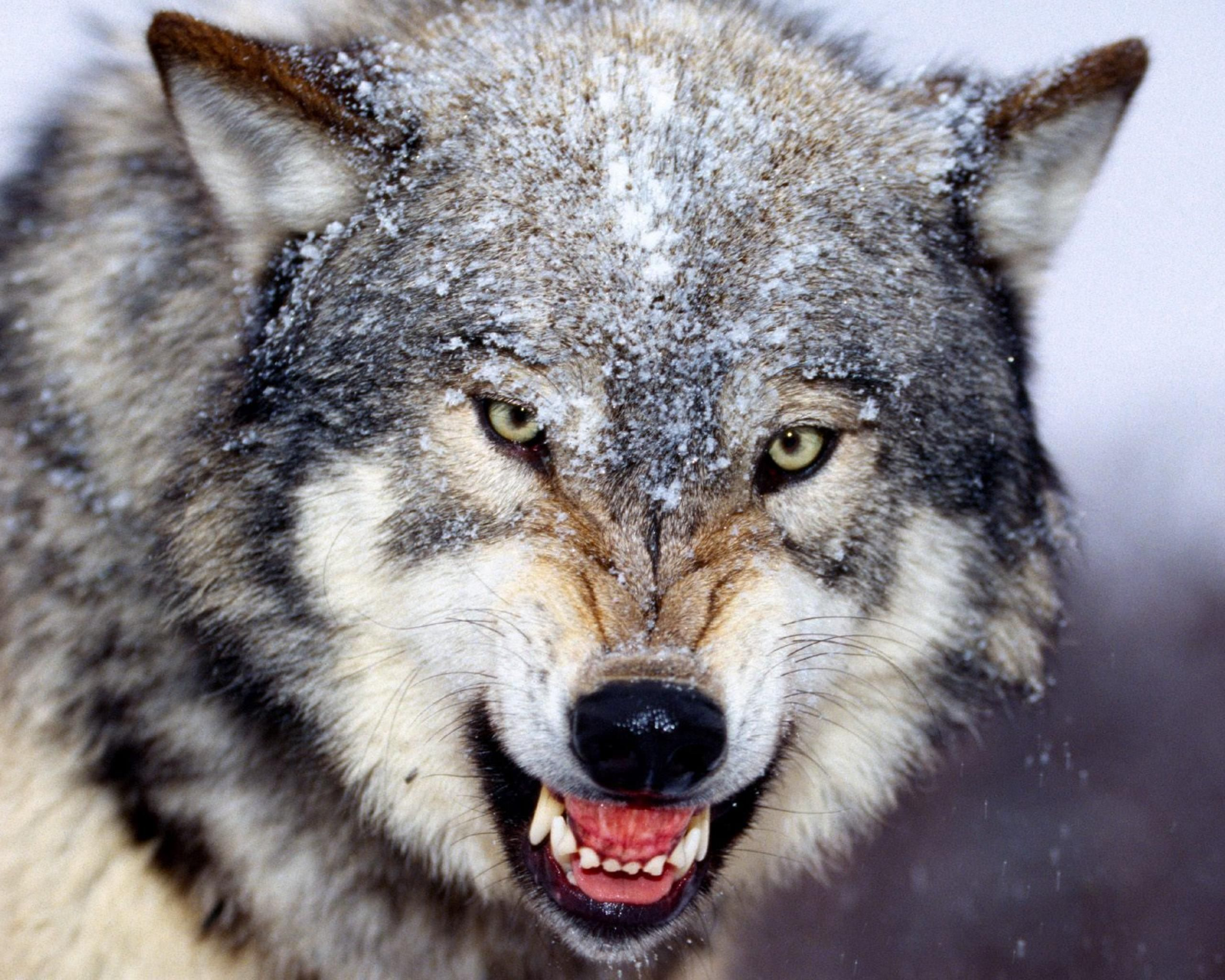 Angry Wolf - 2560x2048 Wallpaper ...