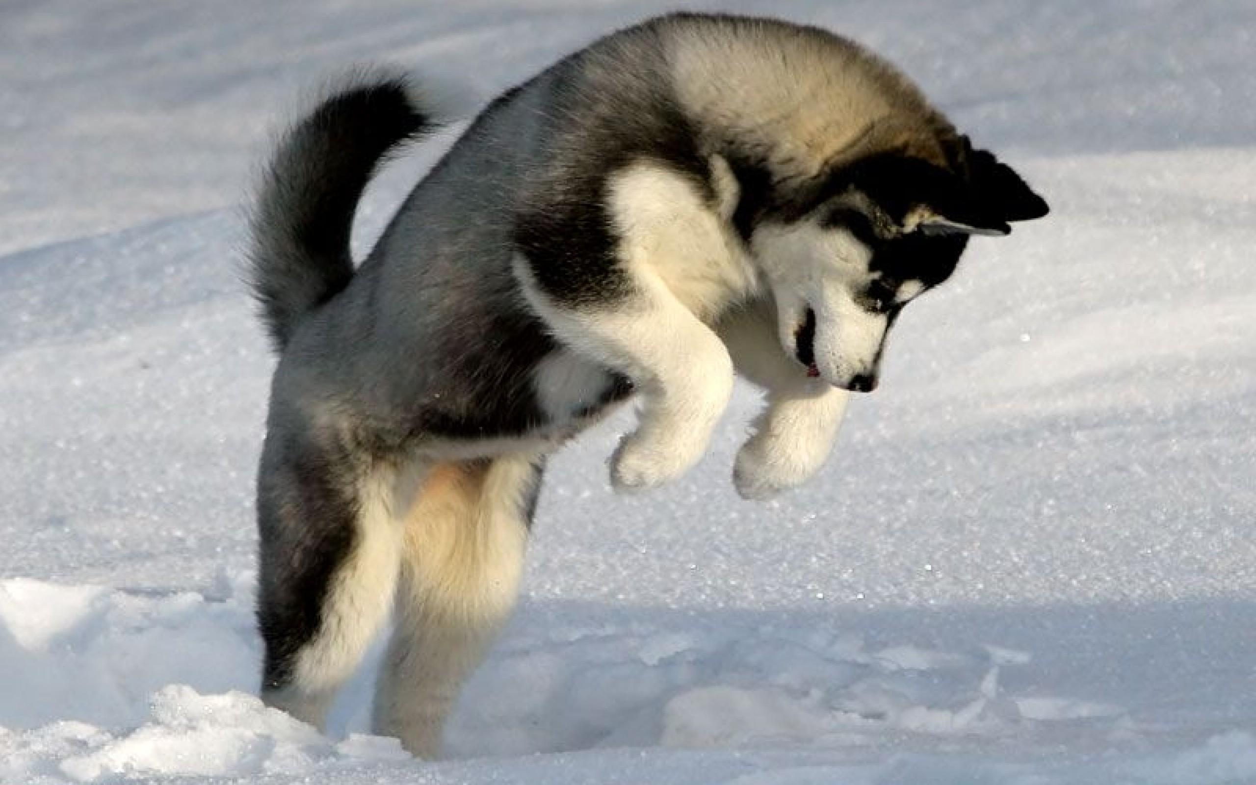 Husky Puppies Wallpapers Pc 2560x1600 Wallpaper Teahub Io