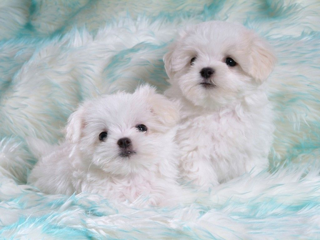 Cute White Puppies Wallpapers Desktop Dogs Puppies Baby Dog 1024x768 Wallpaper Teahub Io