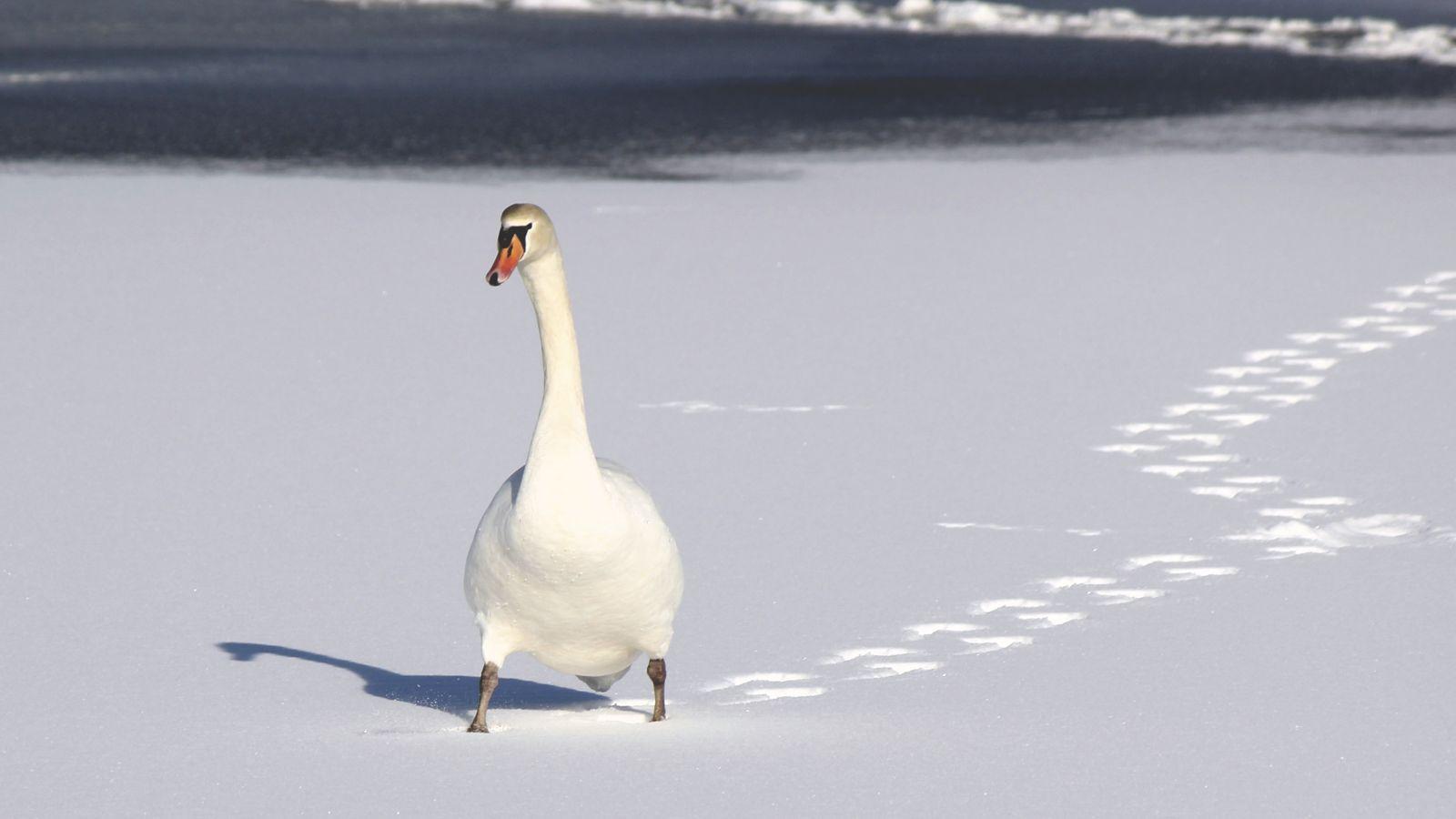 Nature Snow Bird Wallpaper - Snow Duck Hd - HD Wallpaper