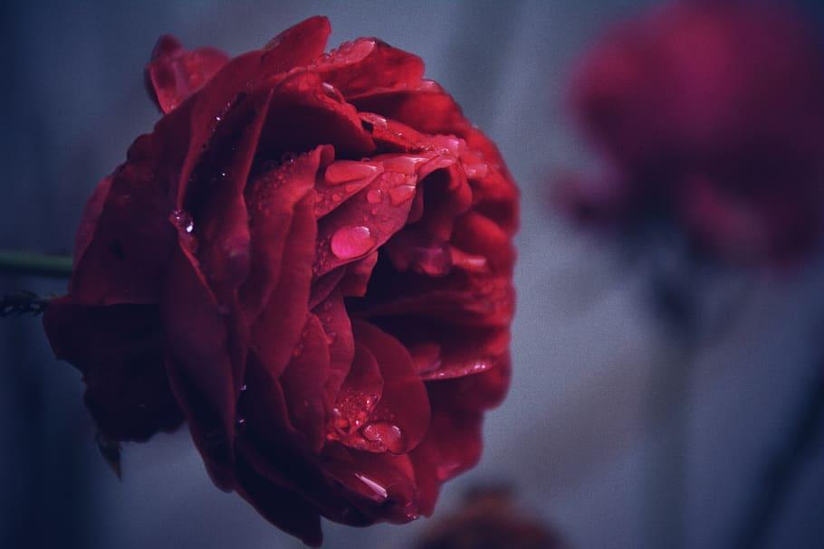 Rose Red Rain Drops Nature Flower Romantic Love Rumi Flower Quotes 910x607 Wallpaper Teahub Io