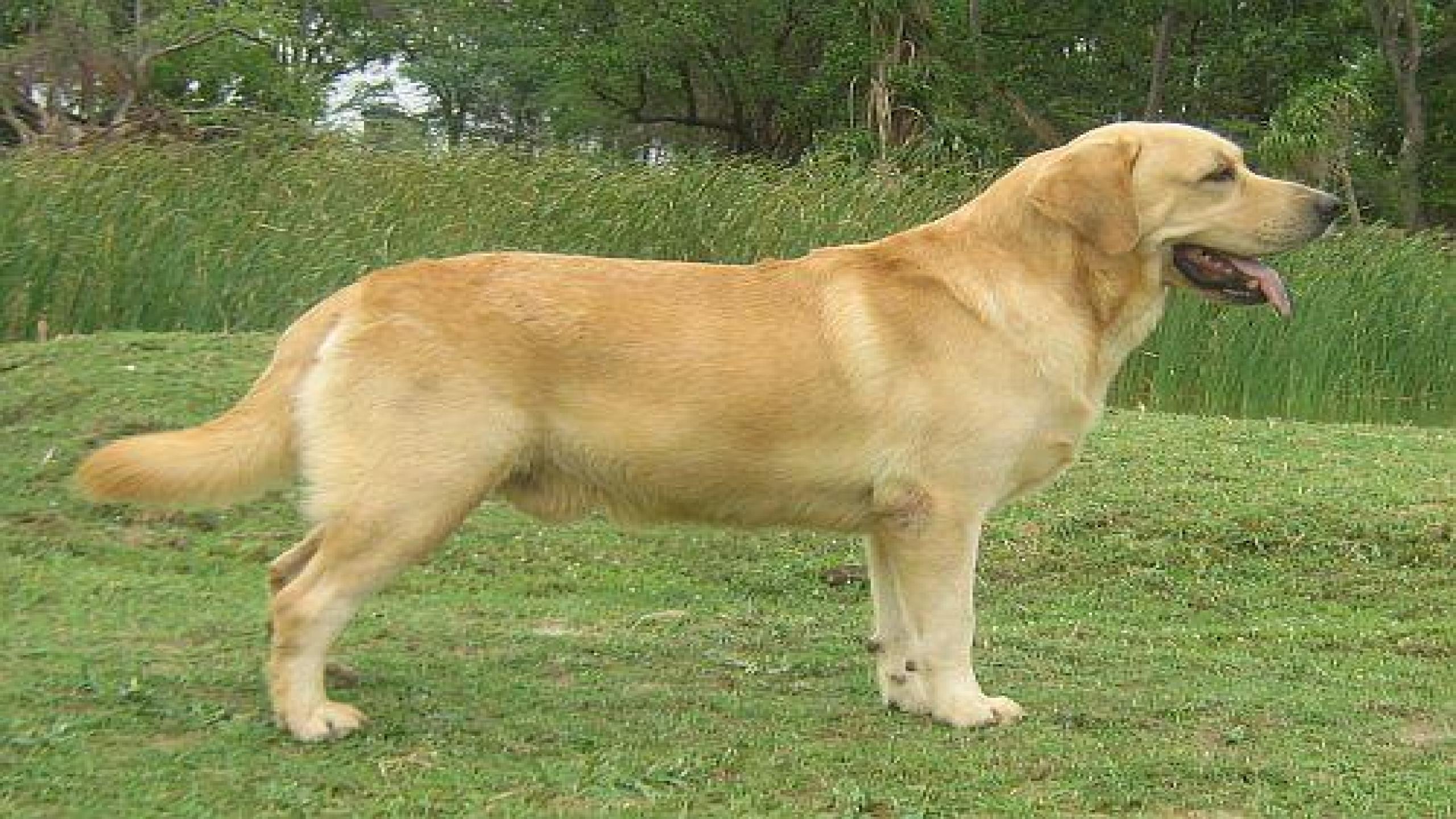 Golden Labrador Dog In India ...