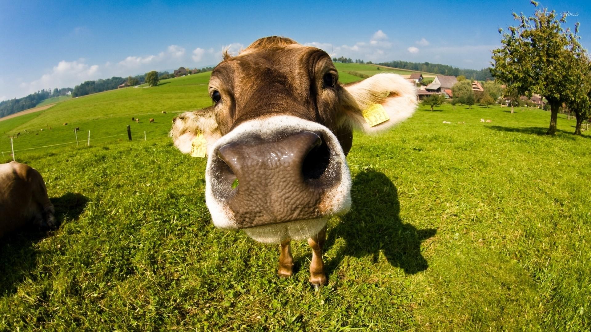 1920x1080, Cow Wallpaper   Data Id 268901   Data Src - Hd Cow - HD Wallpaper