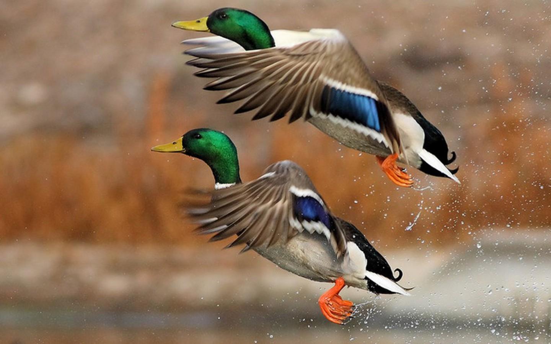 Duck Hunting Wallpaper Iphone - HD Wallpaper