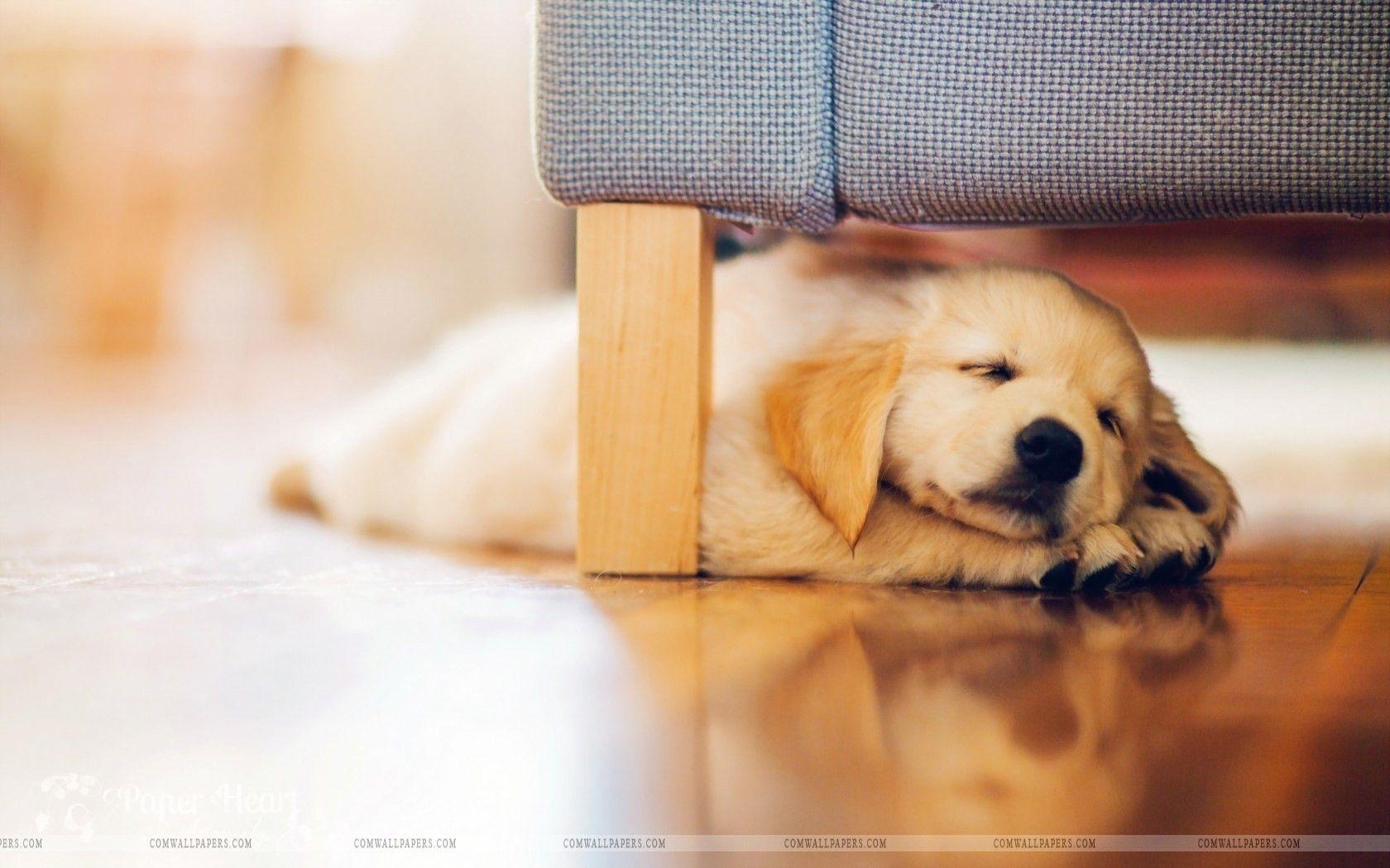 Golden Retriever Puppy Wallpaper Hd 1680x1050 Wallpaper Teahub Io