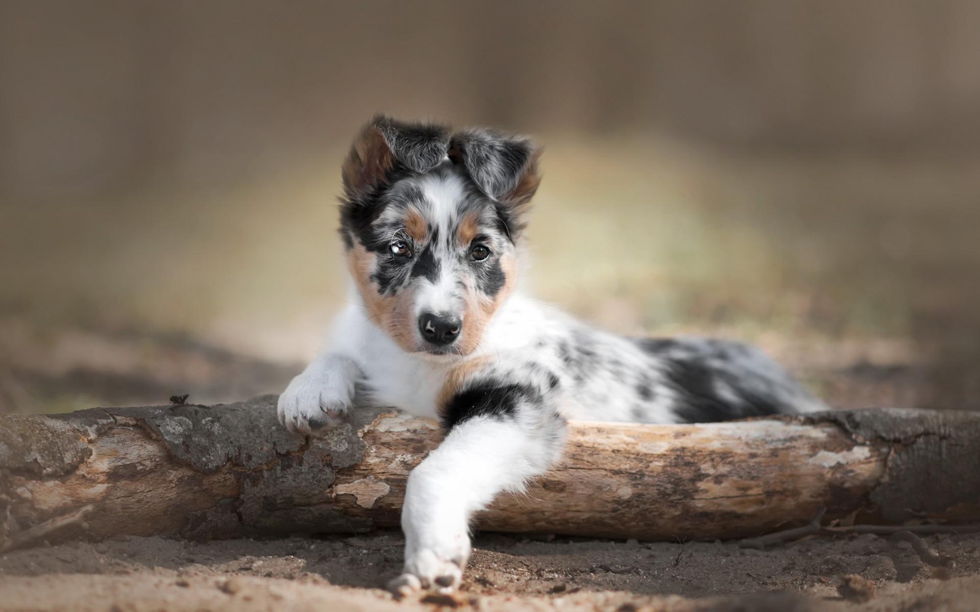 Australian Shepherd Dog Puppy Little Cute Dog Pets Chien Berger Australien Chiot 1920x1200 Wallpaper Teahub Io