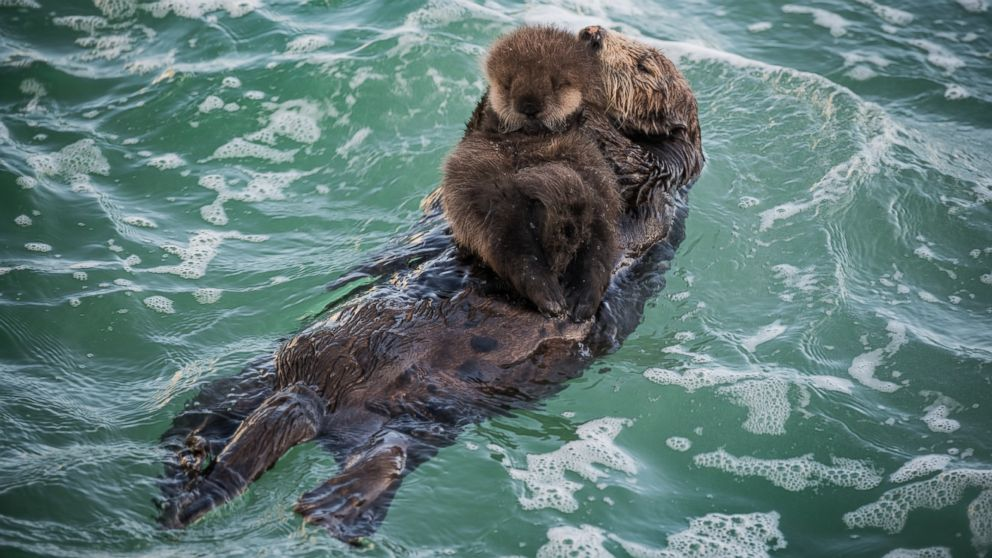 Sea Otter Mother And Pup - 992x558 Wallpaper - teahub.io