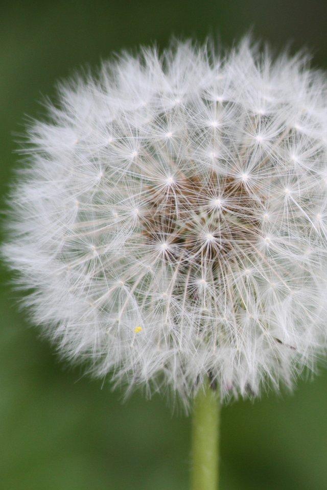 Flower, Garden, Steam, Green, Nature, Flowers, White - Dandelion - HD Wallpaper