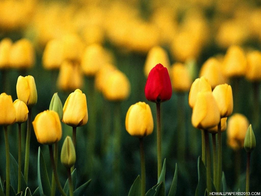 Red Flower In Yellow Flowers - HD Wallpaper