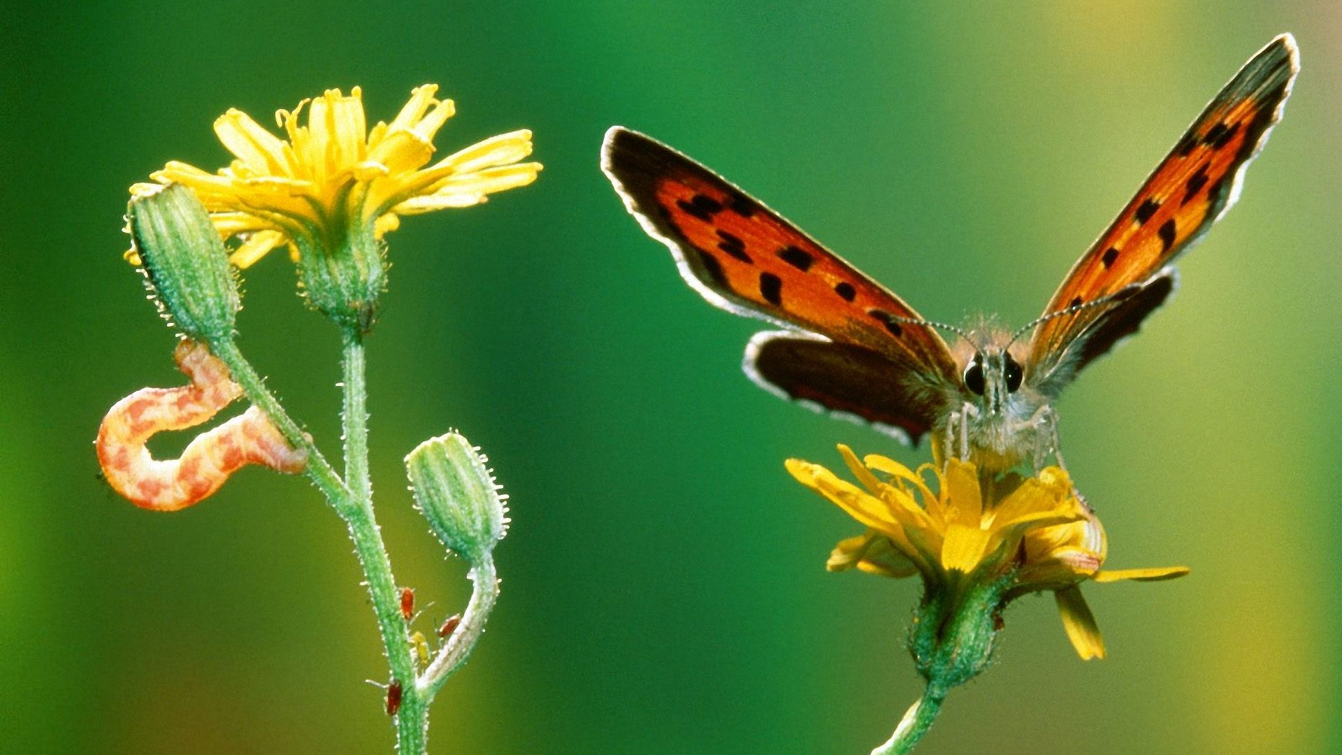 Hd Butterfly Hd Wallpapers 1080p For Your Desktop Backgrounds Caterpillar To Butterfly Hd 1920x1080 Wallpaper Teahub Io