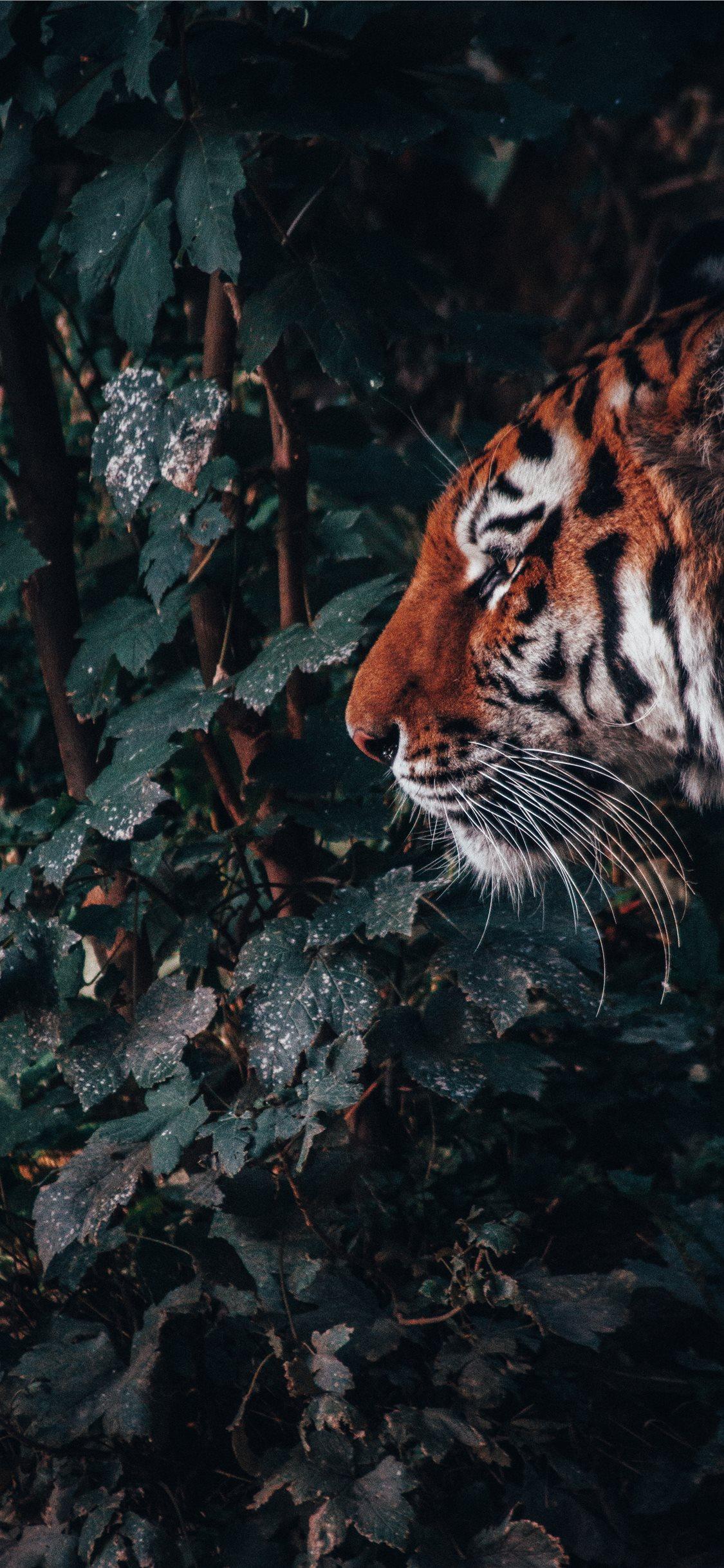Tiger Wallpaper Hd Iphone X 1125x2436 Wallpaper Teahub Io