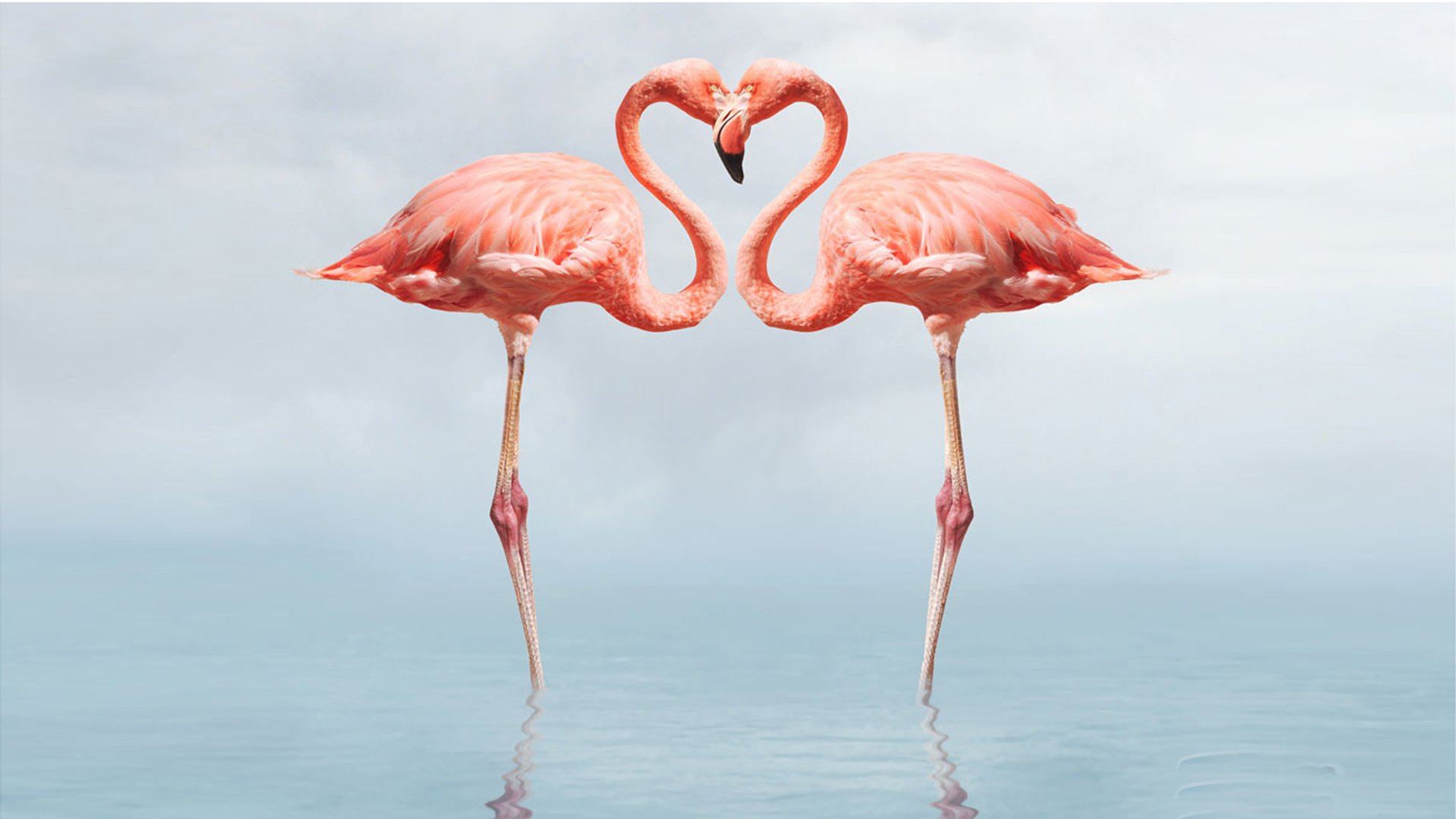 Flamingo Bird 1920x1080 Wallpaper Teahub Io
