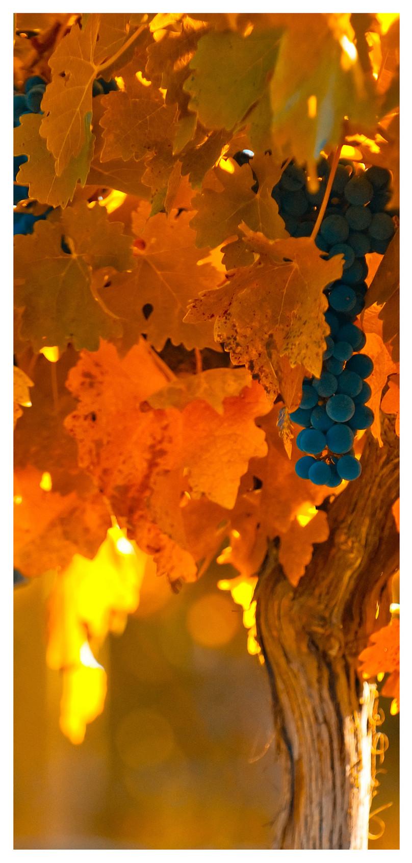 Vine Wallpaper Per Cellulare Sfondo Cellulare Uva 808x1692 Wallpaper Teahub Io