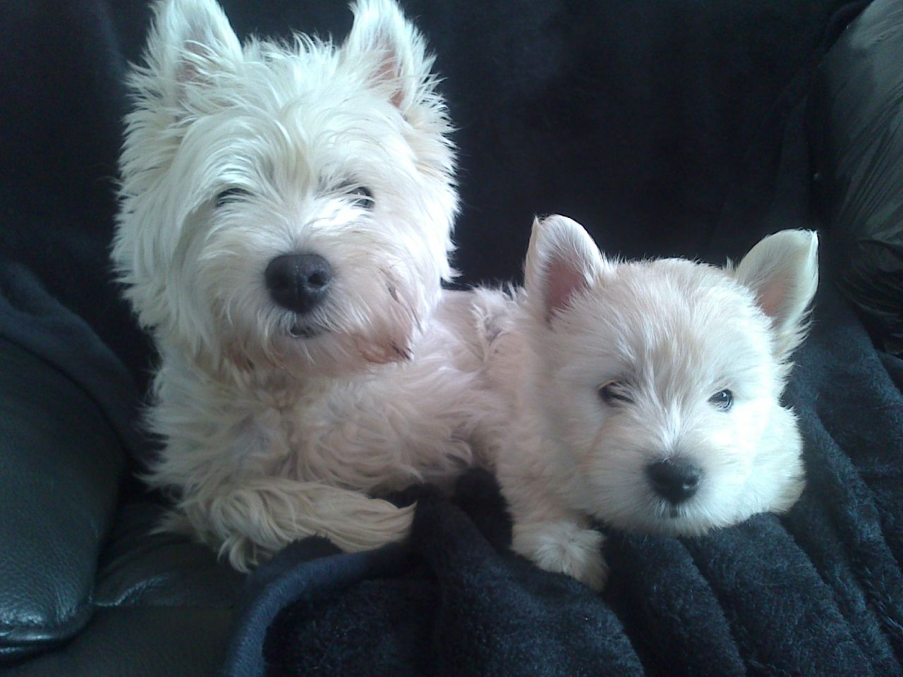Westie Puppies For Sale Uk 1280x960 Wallpaper Teahub Io