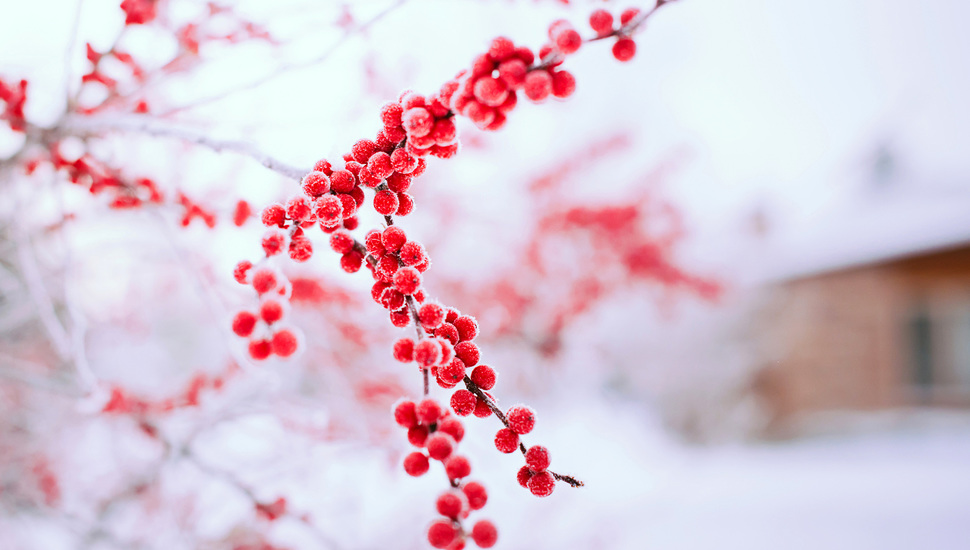 Nature, Winter, Berries, Red, Branch, Snow, Tree Desktop - Red Winter Berries In Snow - HD Wallpaper