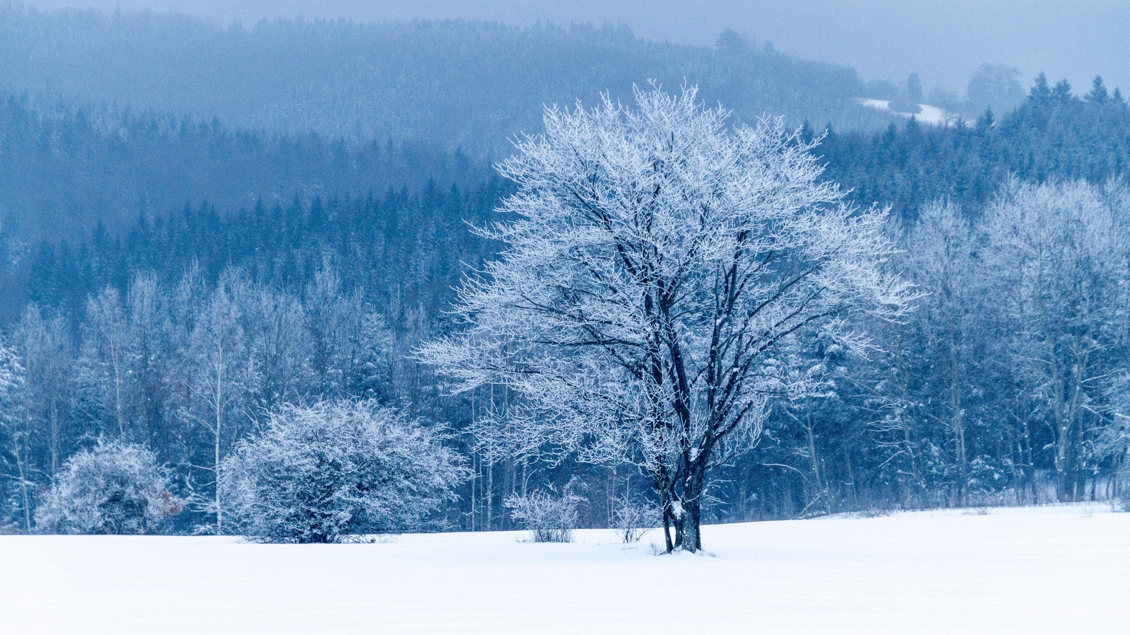 Tree Snow Winter Forest 4k - HD Wallpaper