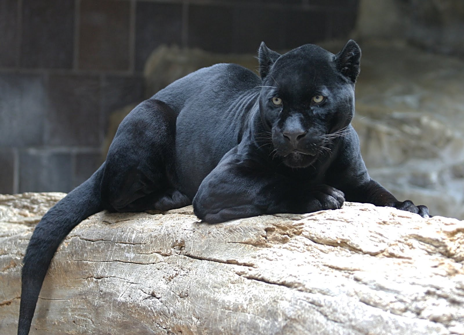 Cat Black Jaguar 1600x1155 Wallpaper Teahub Io