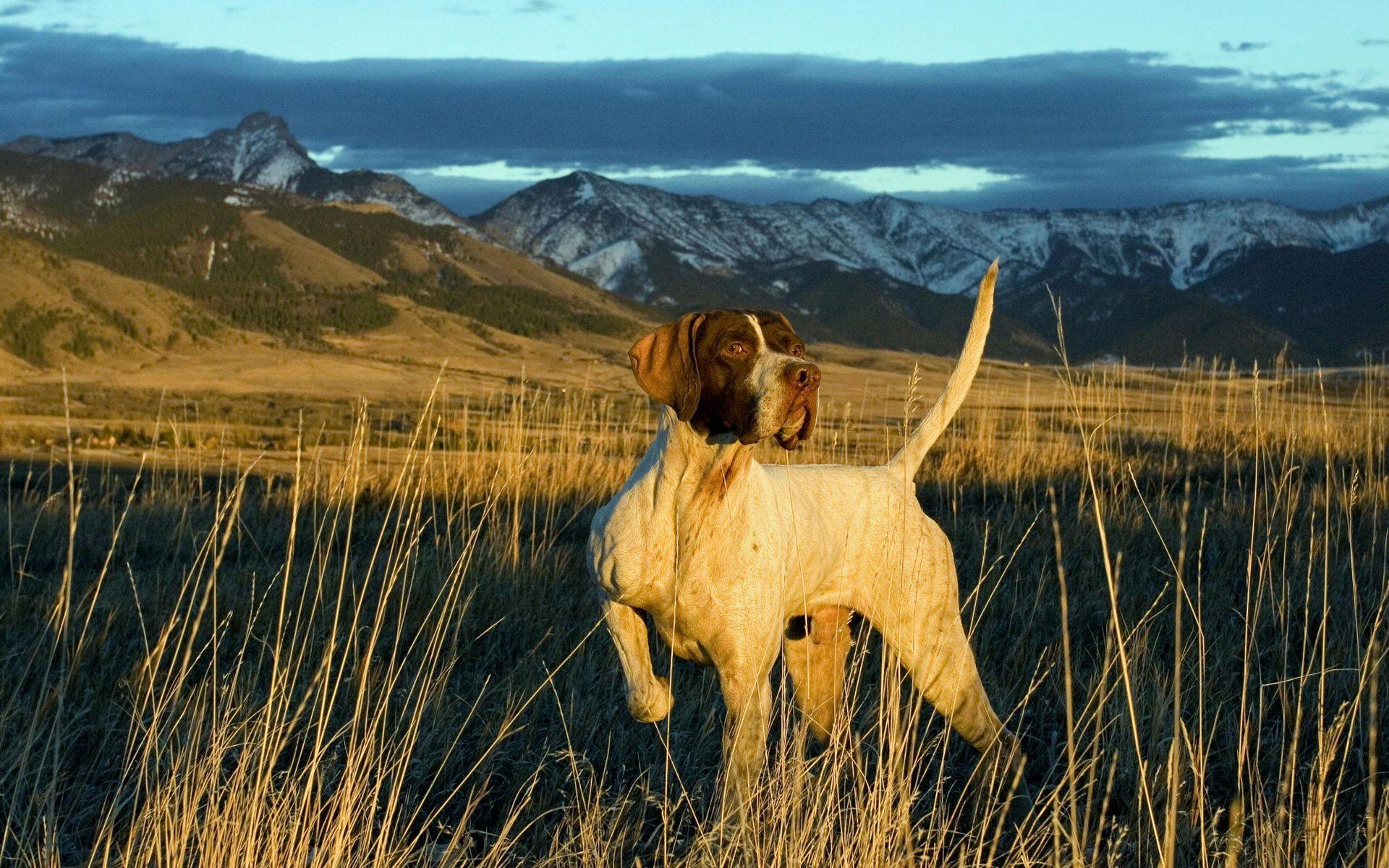 Hunting Dog Wallpaper Hd - HD Wallpaper