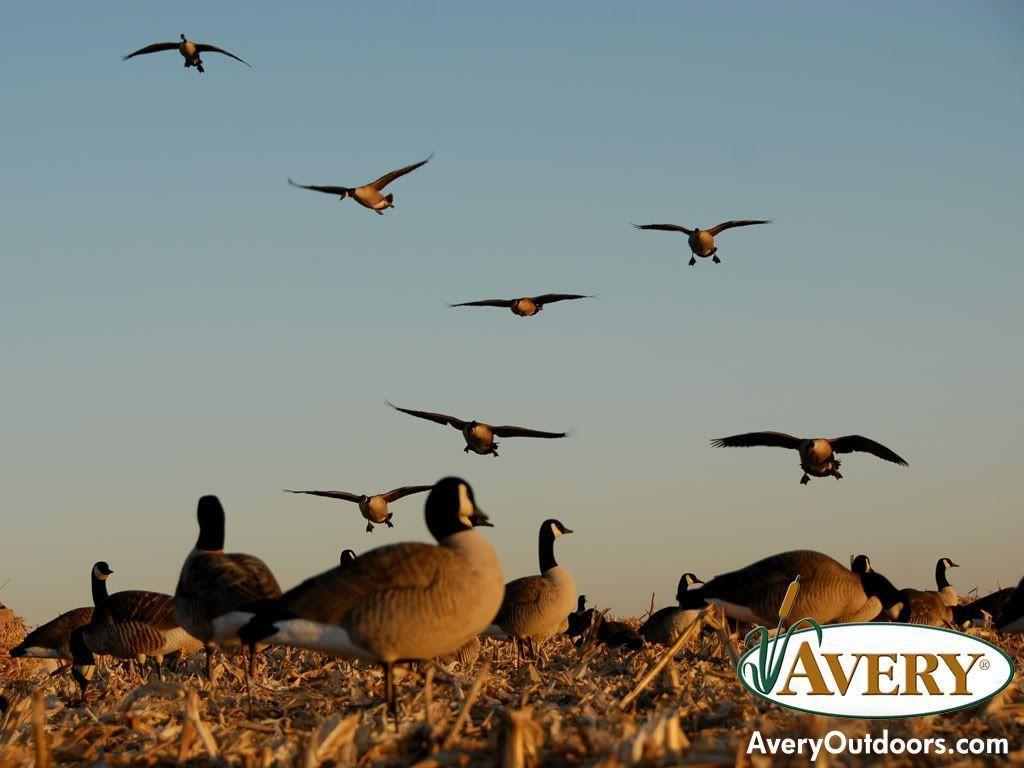 Goose Hunting - HD Wallpaper