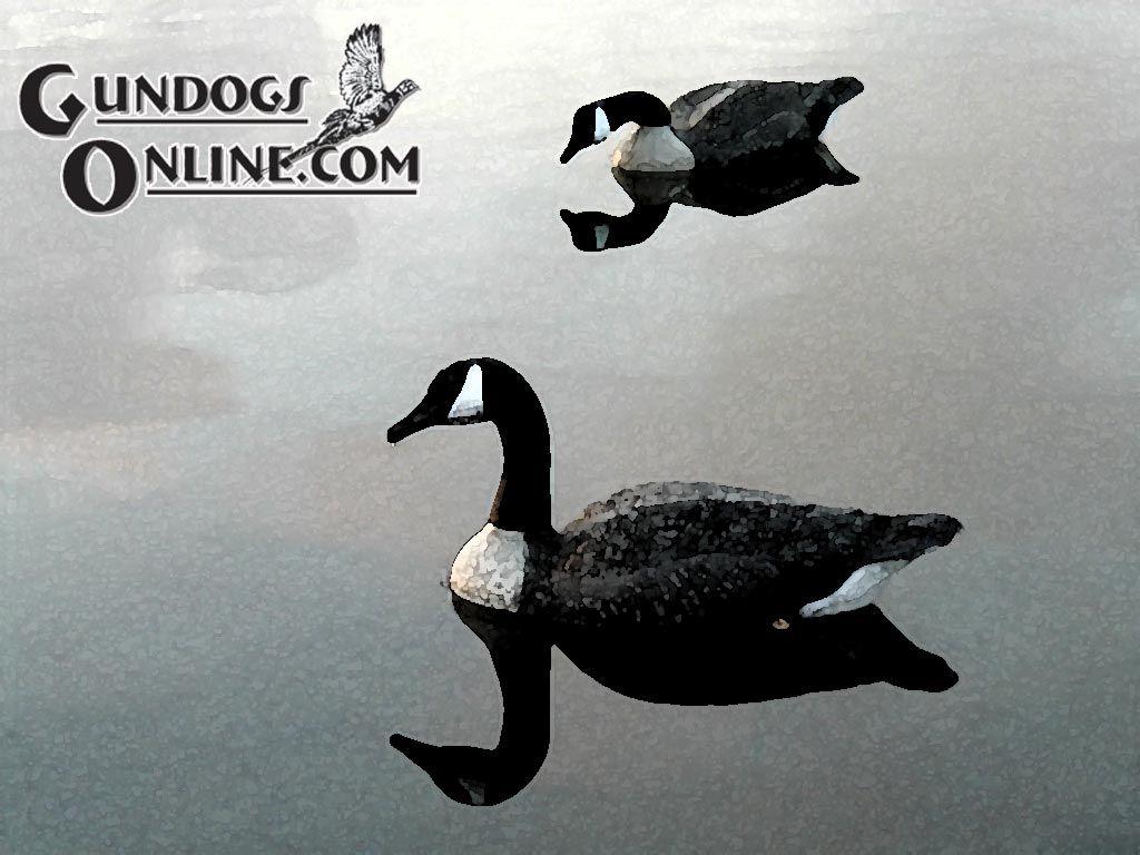 Canada Goose - HD Wallpaper