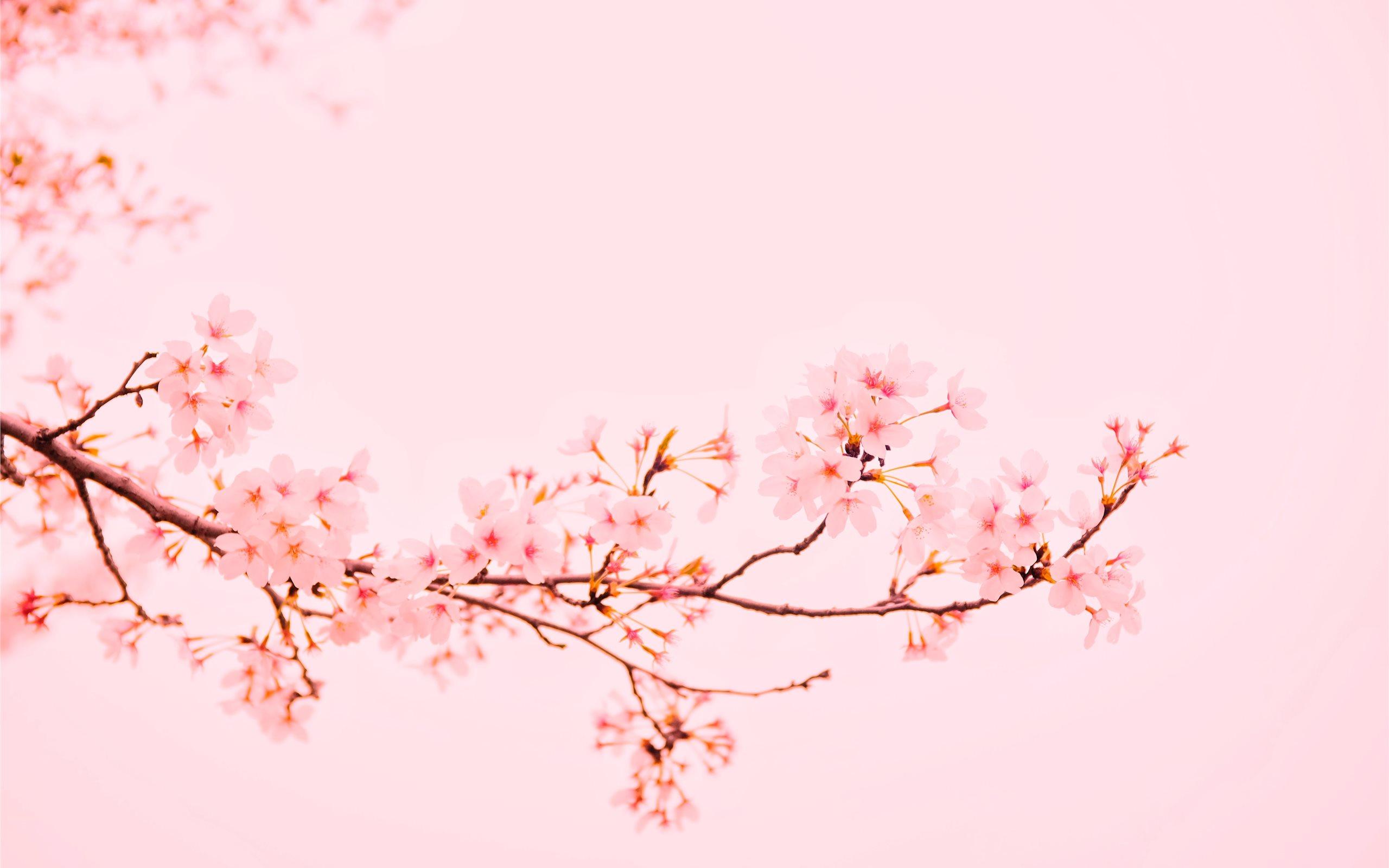 Pastel Aesthetic Cherry Blossom Wallpaper Hd Desktop 2560x1600 Wallpaper Teahub Io