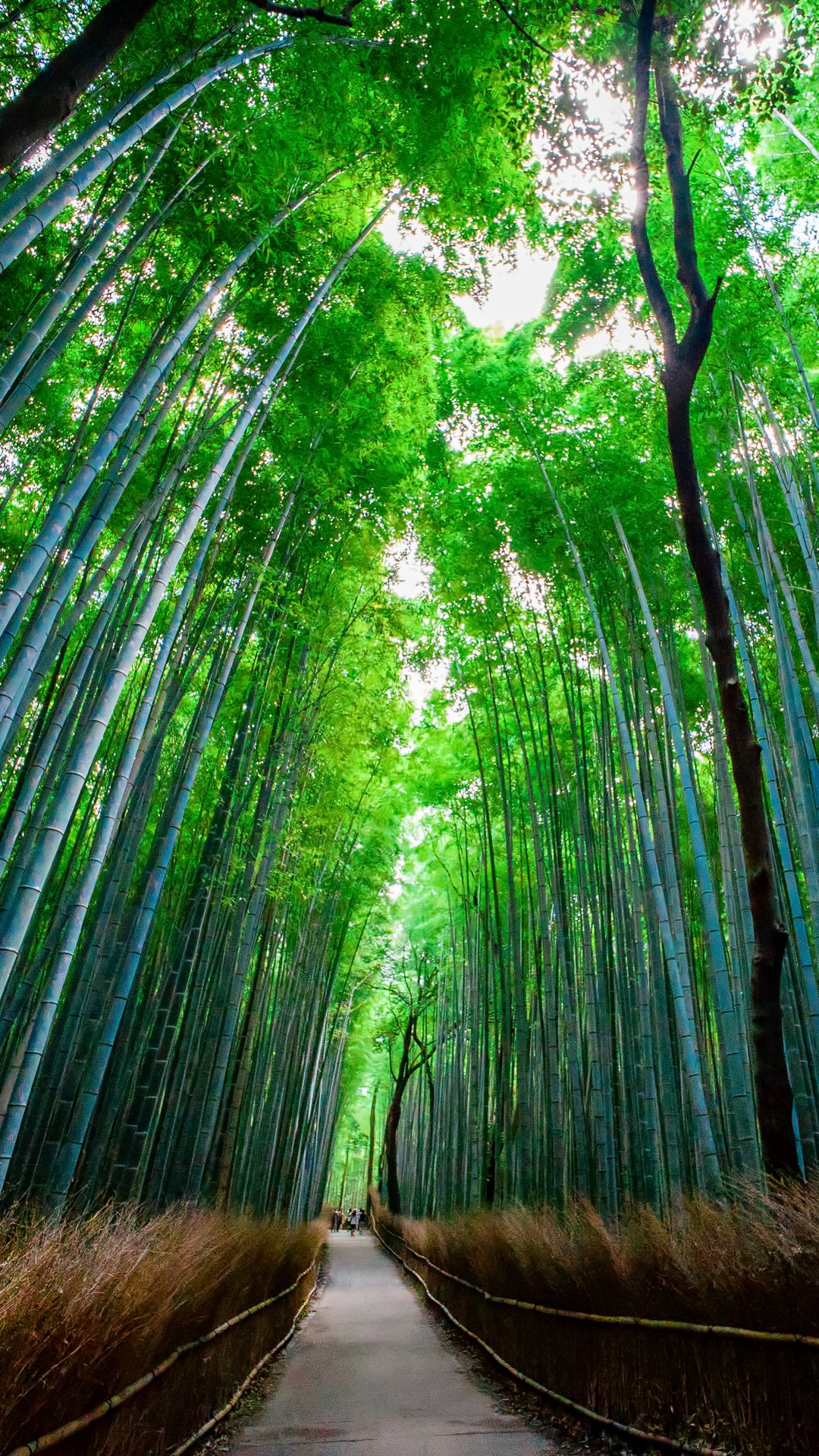 Wallpaper Bamboo, Forest, Trees, Bottom View - Forests And Woodlands In Japan - HD Wallpaper