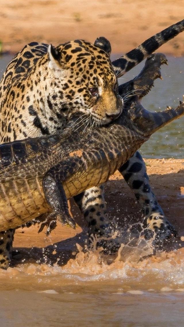 Iphone Wallpaper Crocodile And Jaguar Hunting - Nature Is Metal Jaguar - HD Wallpaper