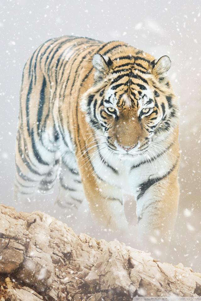 Tiger Hunting Iphone - HD Wallpaper