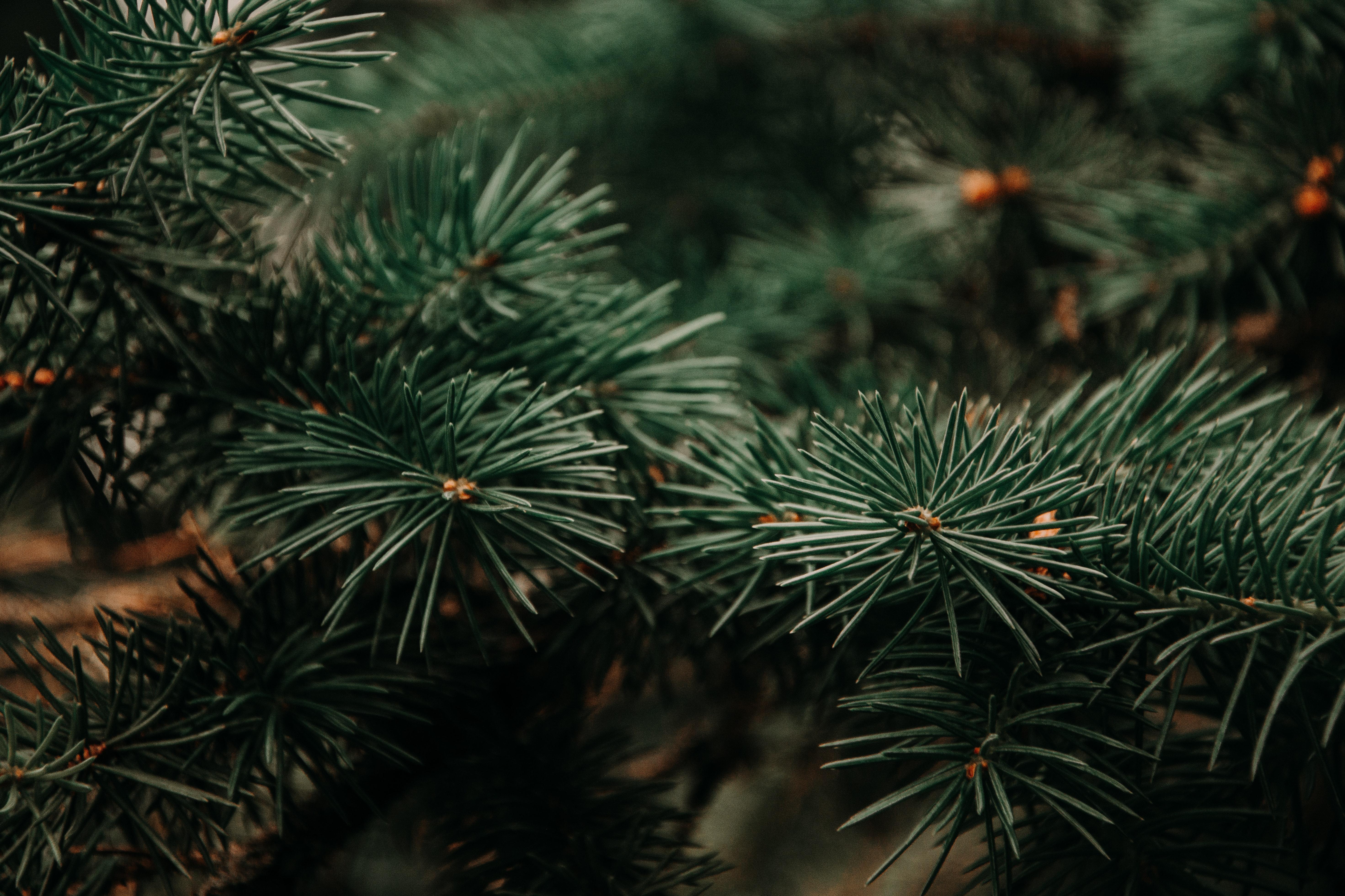 Pine Tree Wallpaper 5885x3923 Wallpaper Teahub Io