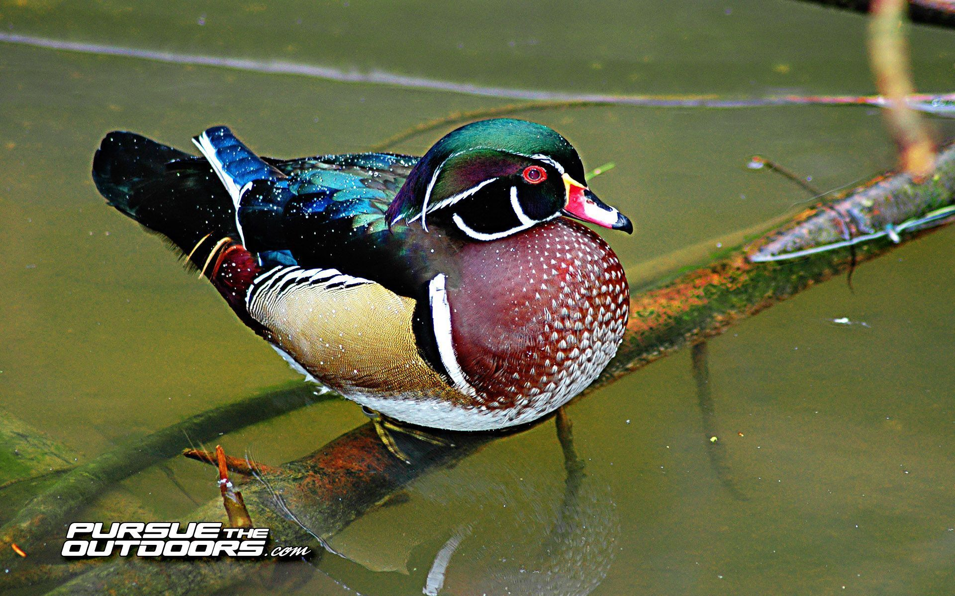 Preview Duck Hunting Pic By Roxelana Beverstock - Duck Hunting Phone Background - HD Wallpaper