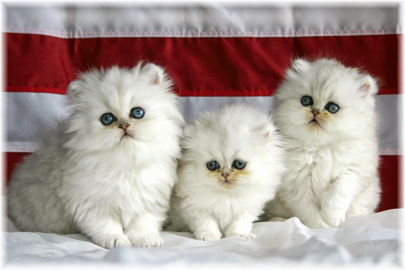 Beautiful Cutest Cats 1304x871 Wallpaper Teahub Io