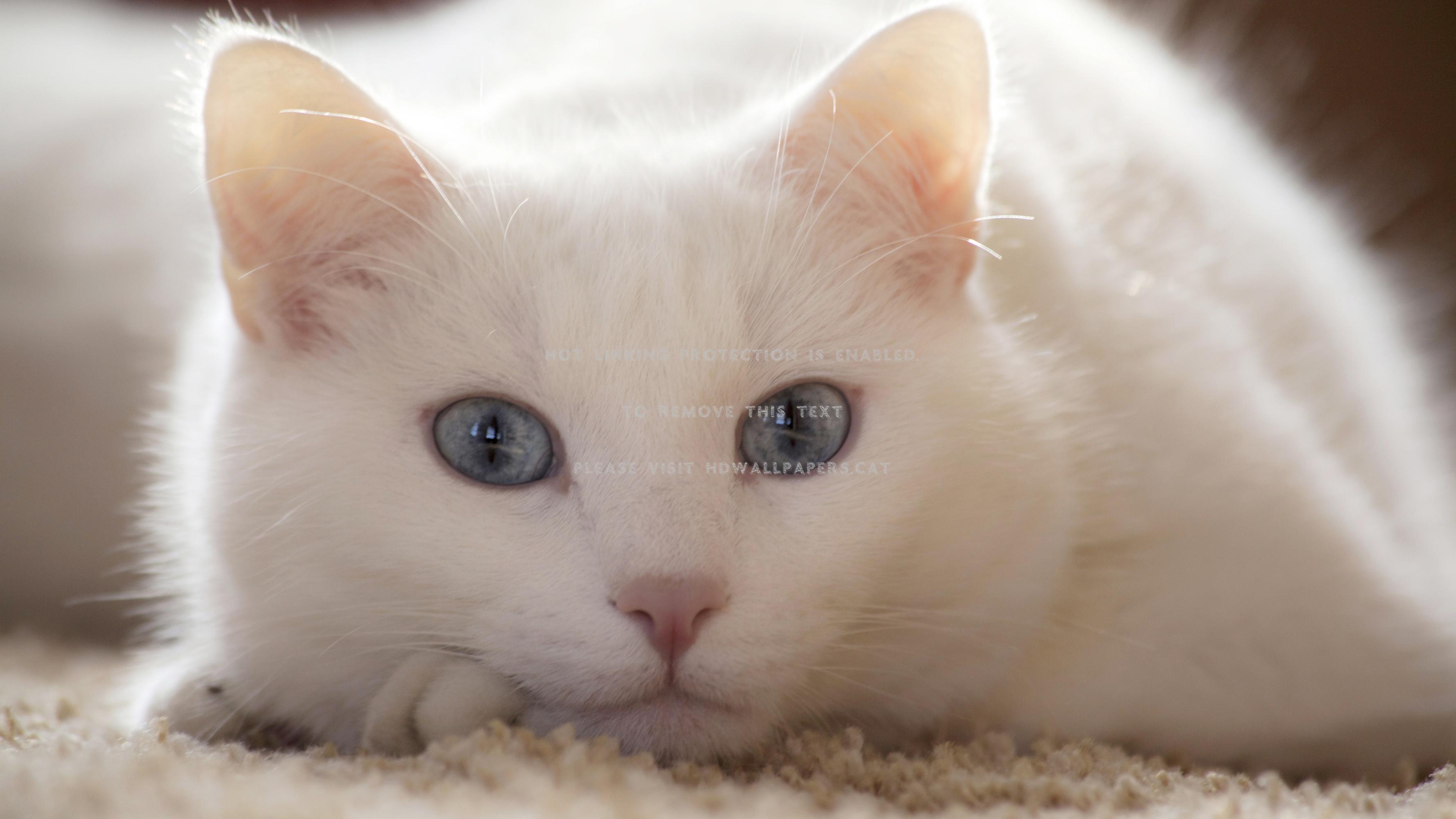 Beautiful White Cat Cute Blue Eyes Animals White Cat With Short Fur 3554x1999 Wallpaper Teahub Io