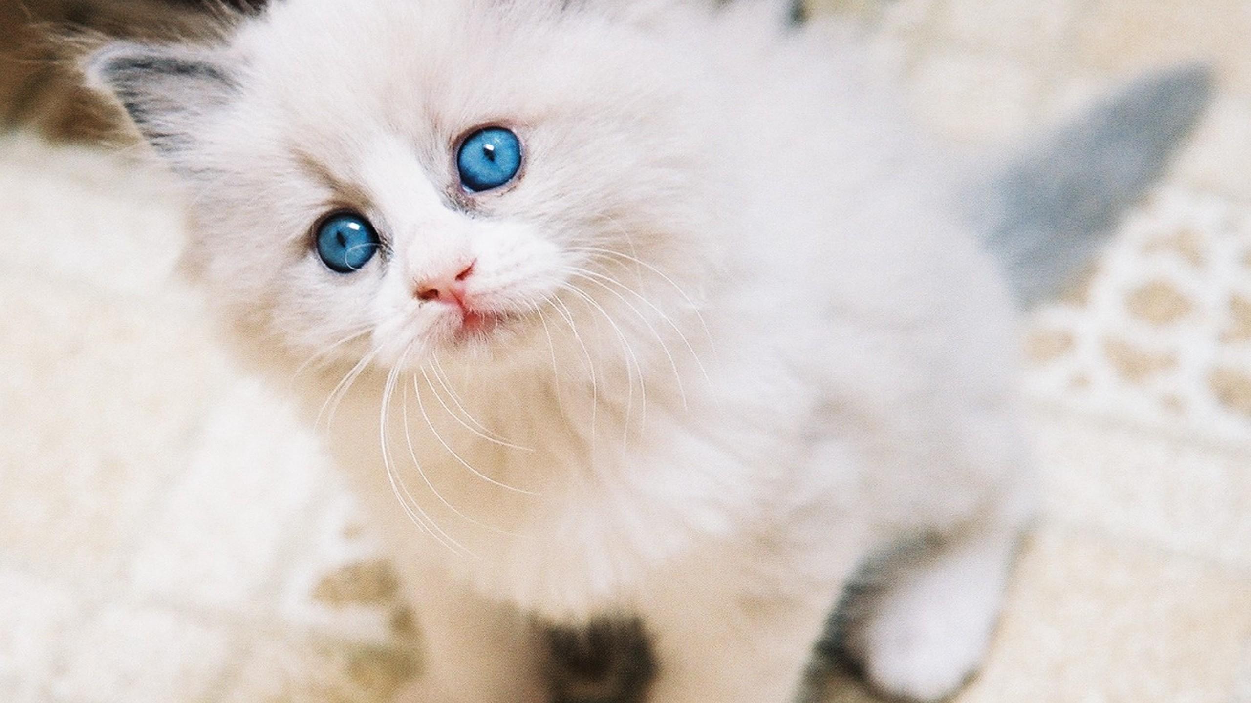 Baby White Cute Kittens - HD Wallpaper