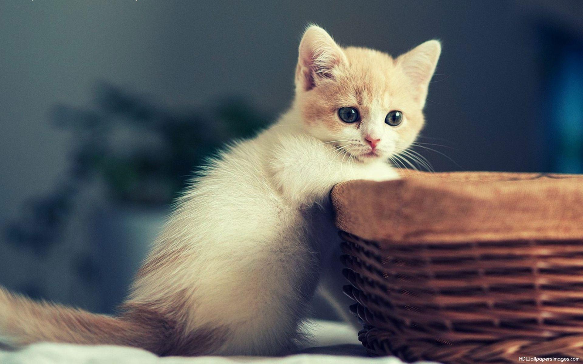 Cute Kittens Wallpapers Hd - 1920x1200 ...