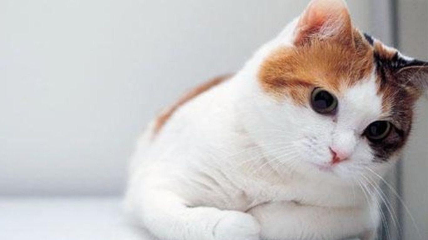 Desktop Wallpaper Cat Hd - 1366x768 ...