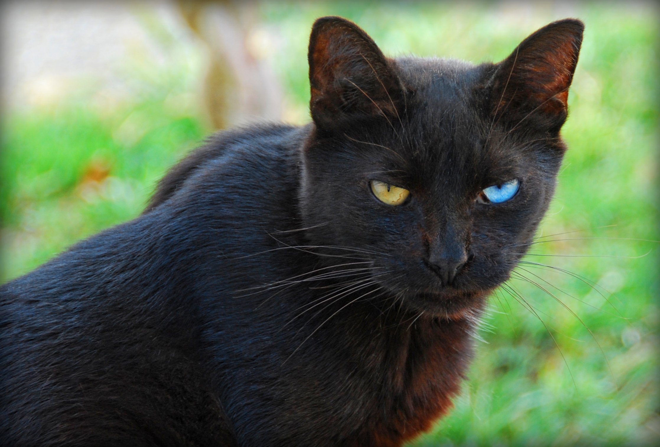 Nice Images Collection Black Cat With Blue And Green Eyes 2235x1516 Wallpaper Teahub Io