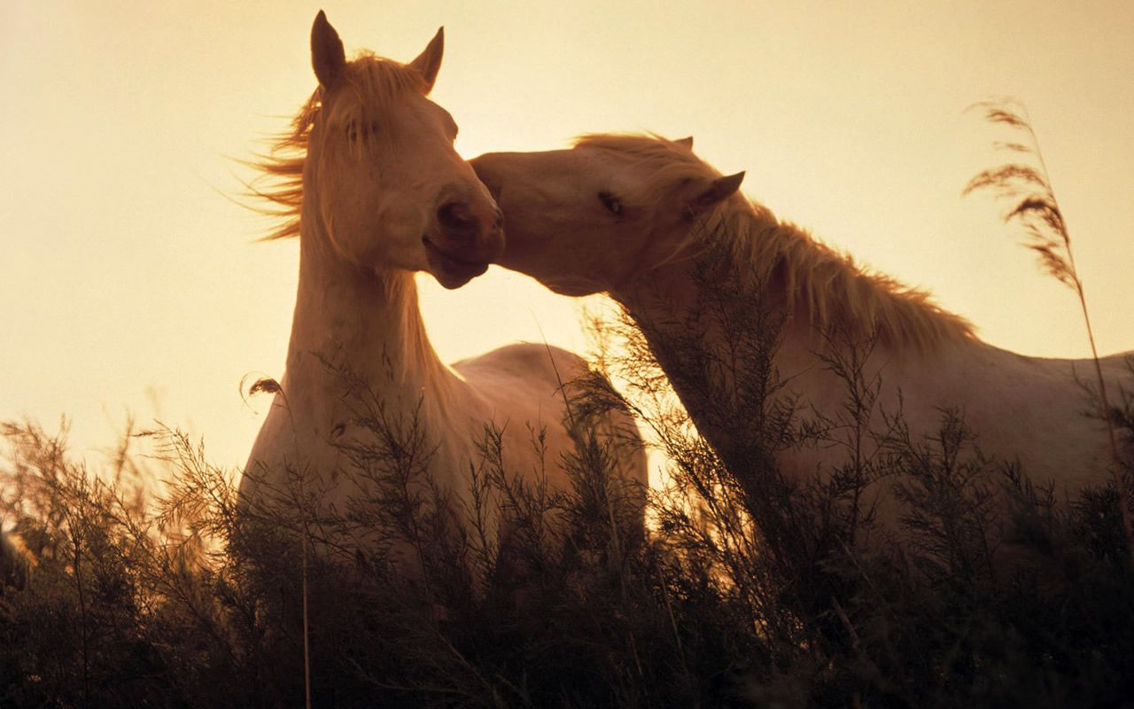 Hdq Beautiful Horses Images Wallpapers 1280x800 Wallpaper Teahub Io