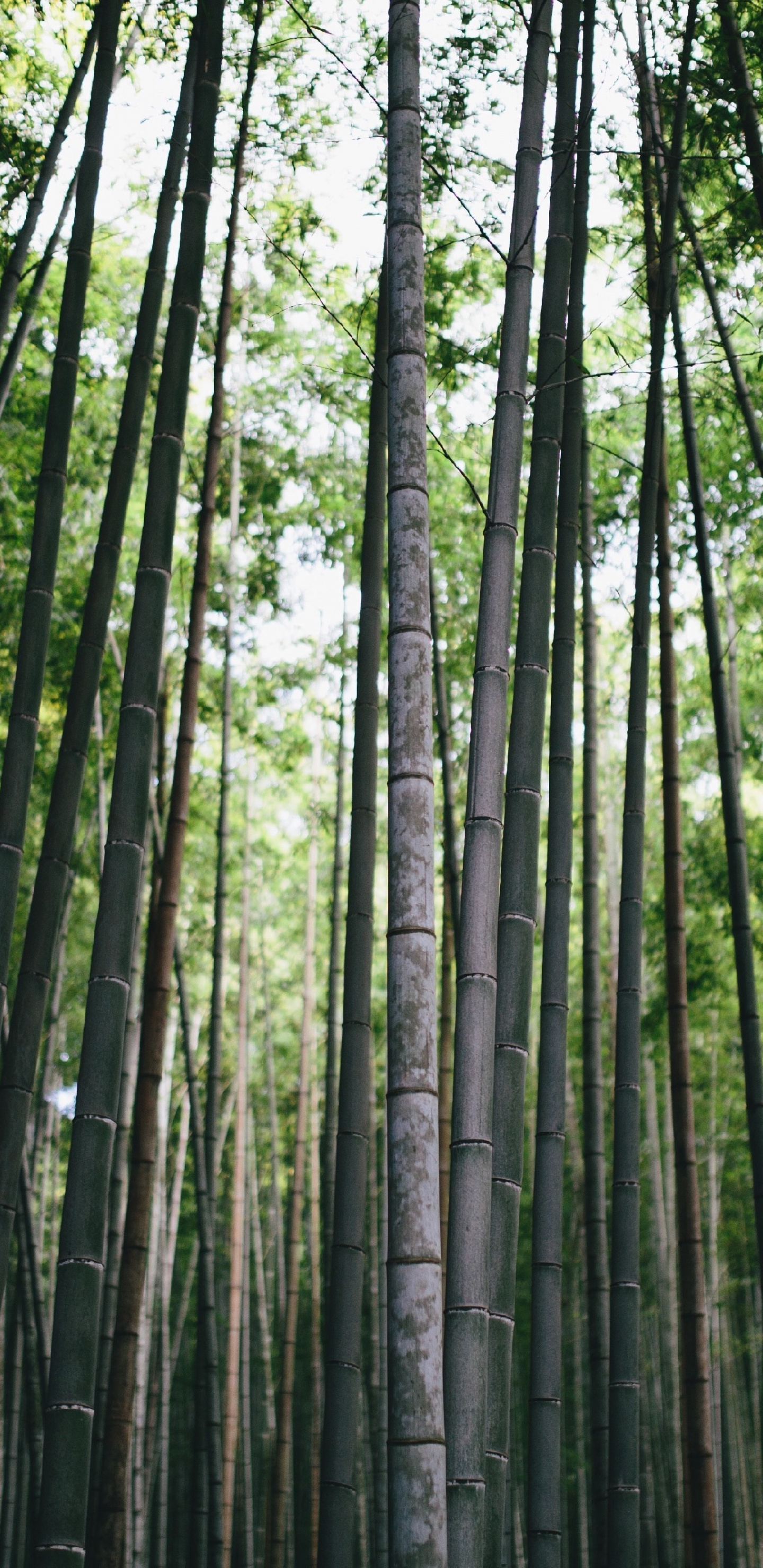 Bamboo, Forest, Trees, Nature, Wallpaper - Bamboo Forest - HD Wallpaper