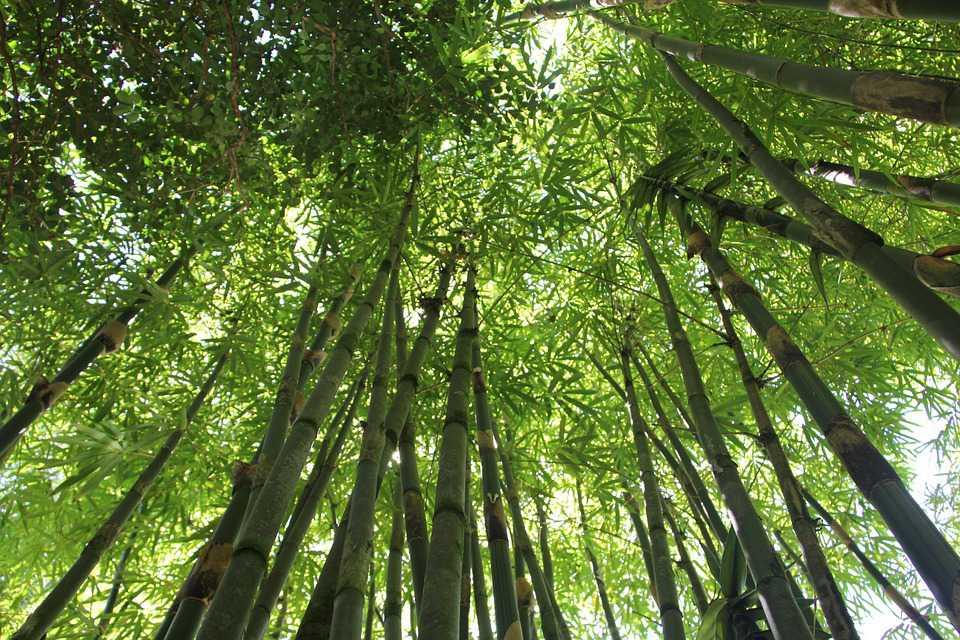 Bamboo Forest Hawaii Nature Green - Amazon Rainforest Bamboo Trees - HD Wallpaper